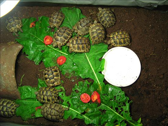 Baby Spur-thigh Tortoises
